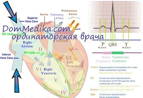 структура сердечного цикла