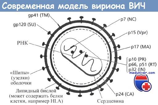Современная модель вириона ВИЧ