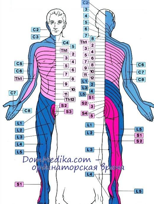 Дерматомы. Схема иннервации кожи