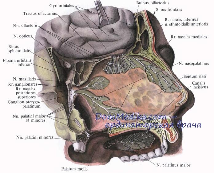 Периферический отдел обонятельного нерва