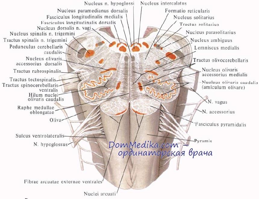 Ядра продолговатого мозга