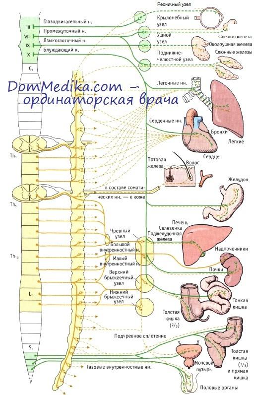 иннервация органов грудной