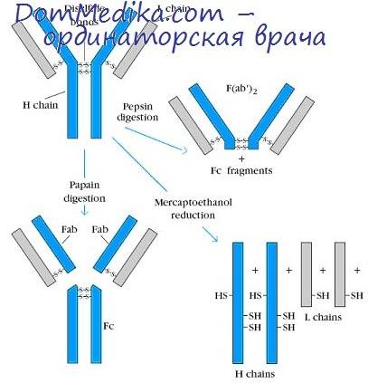 гены иммуноглобулинов