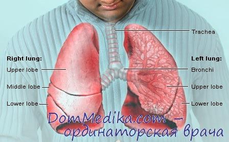 Анатомия легких. Структуры