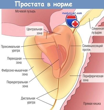 Простата в норме